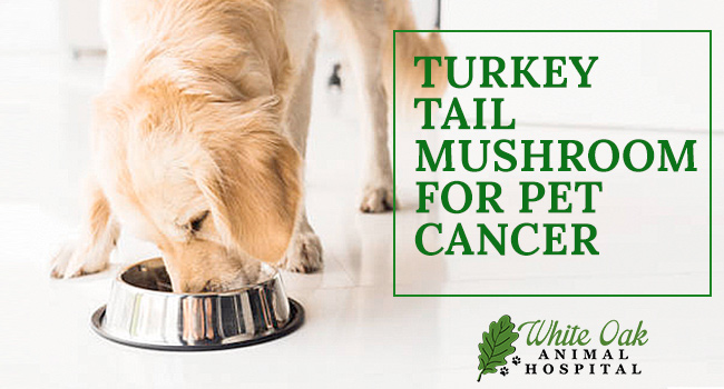 Image for Why Turkey Tail Mushroom Works For Pets With Cancer