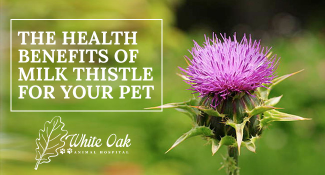 Image for: Milk Thistle Health Benefits For Dogs and Cats